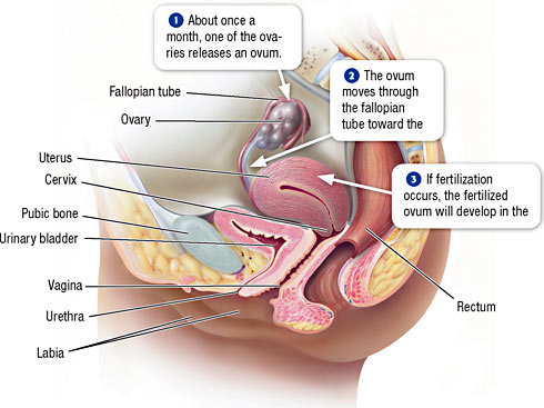 Male And Female Anatomy Diagrams Female Reproductive